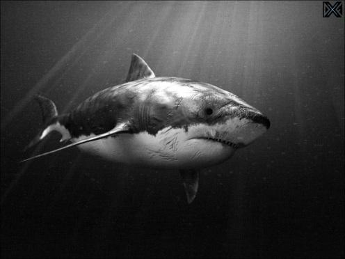 shark-image-BW-2